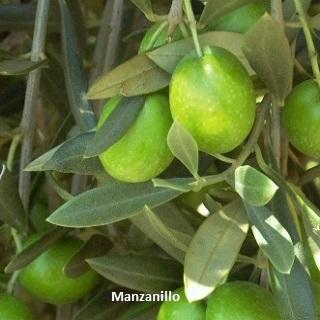 manzanillo 320