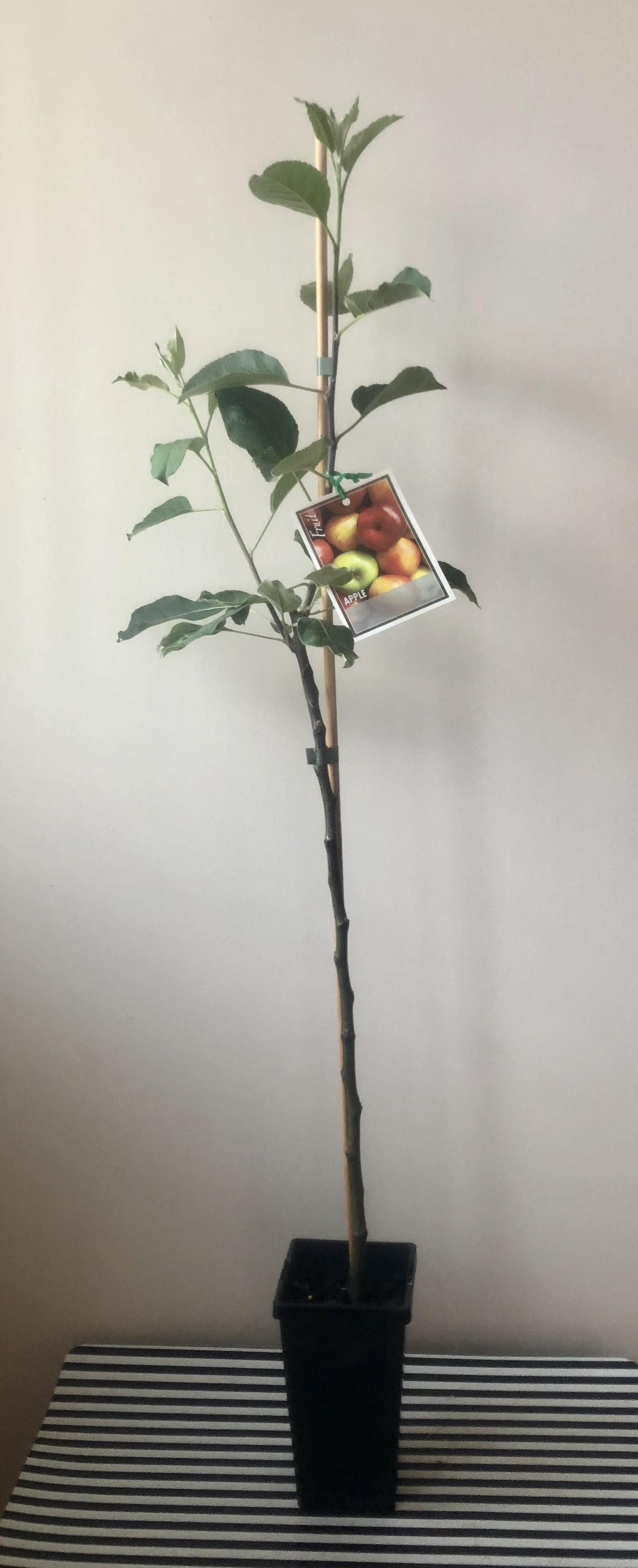 Anna Apple Self Pollinating Dwarf 90mm Pot Fruit Tree Lane